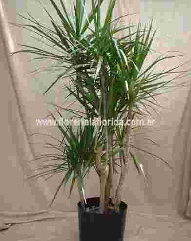 palmera marginata en maceta de vivero | florerialaflorida